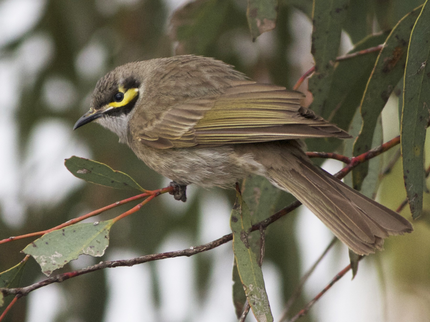 Yellow-faced Honeyeater - Chris Barnes