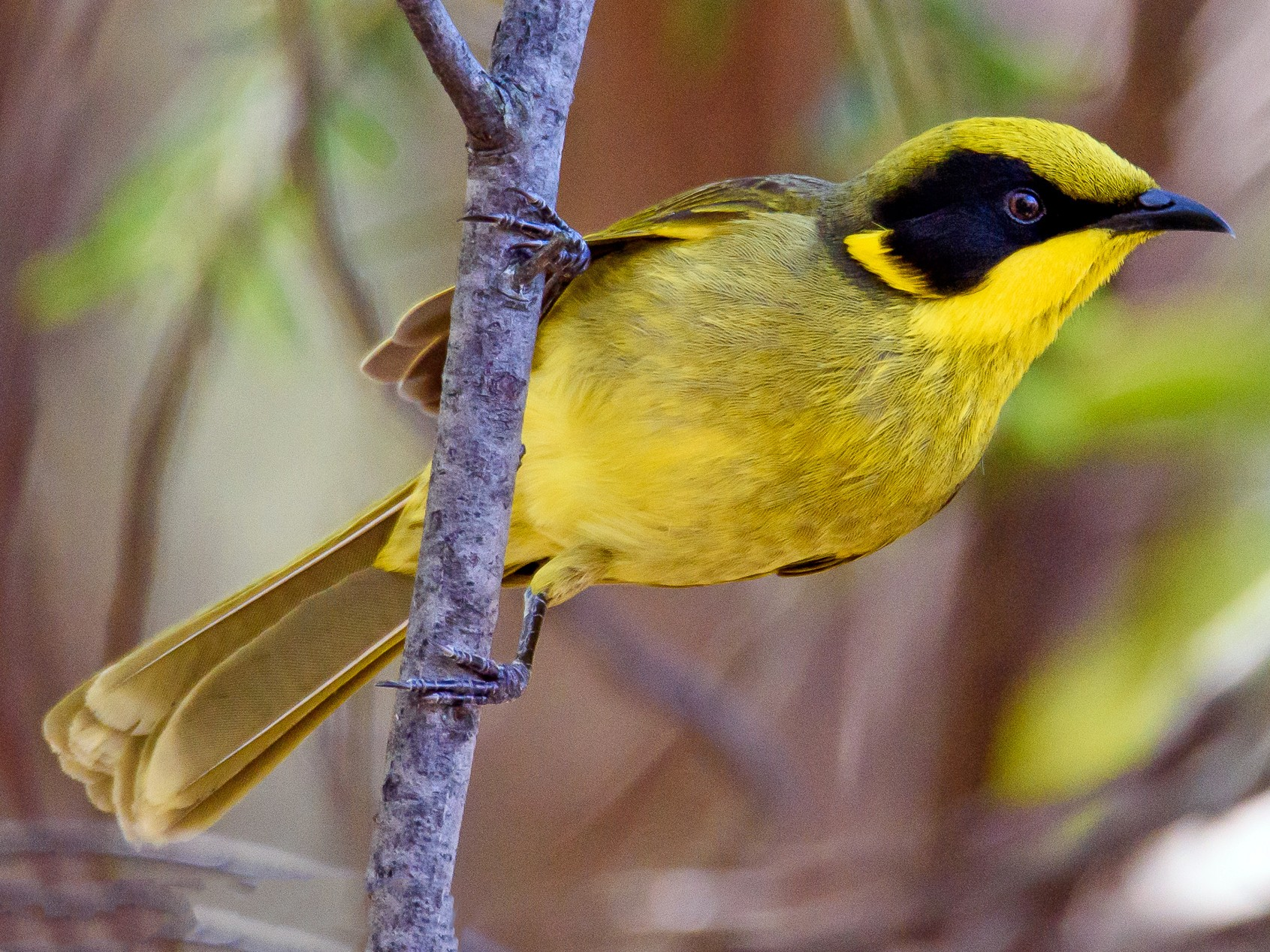 Yellow-tufted Honeyeater - Adam Higgins