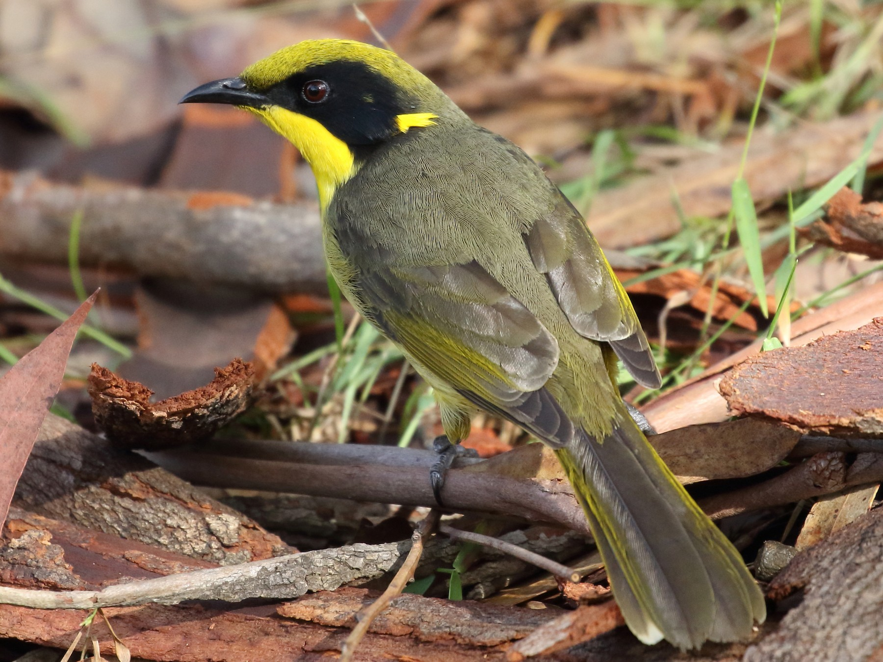 Yellow-tufted Honeyeater - Michael Rutkowski