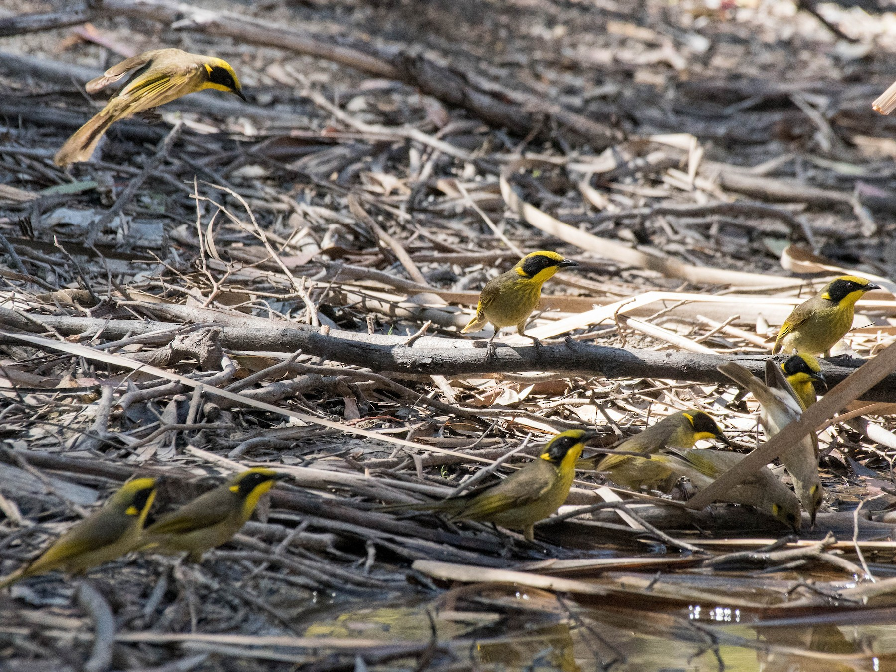 Yellow-tufted Honeyeater - Terence Alexander
