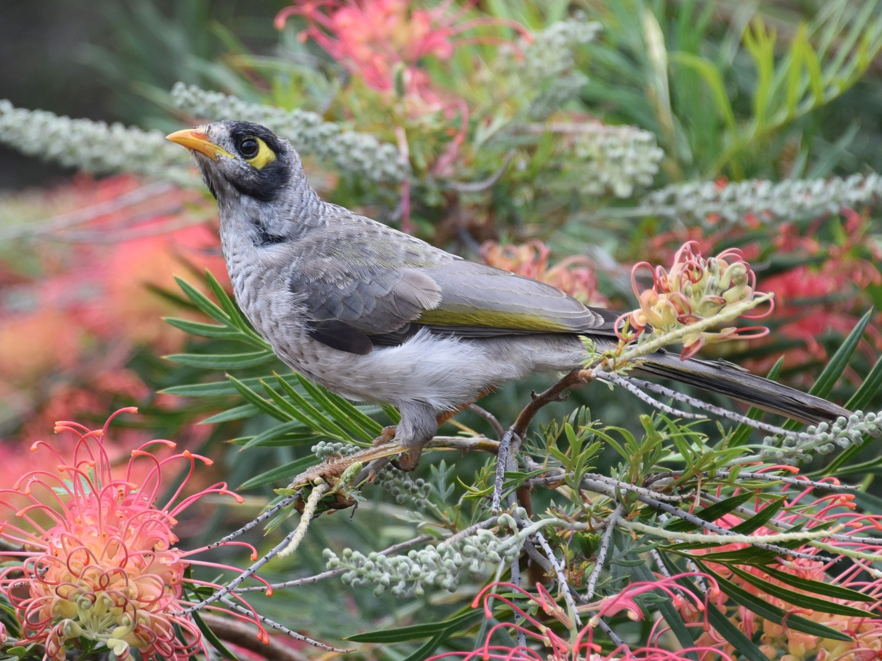 Noisy Miner - Cheryl Kelly