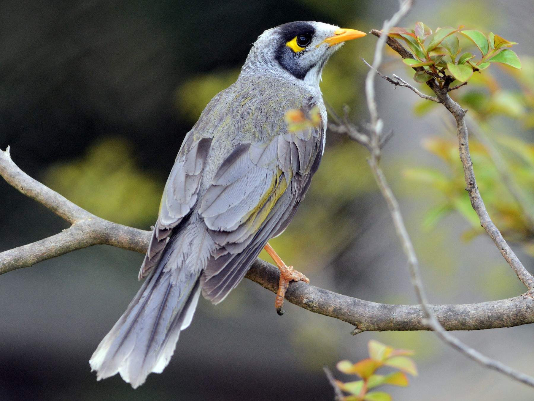 Noisy Miner - David Hollie