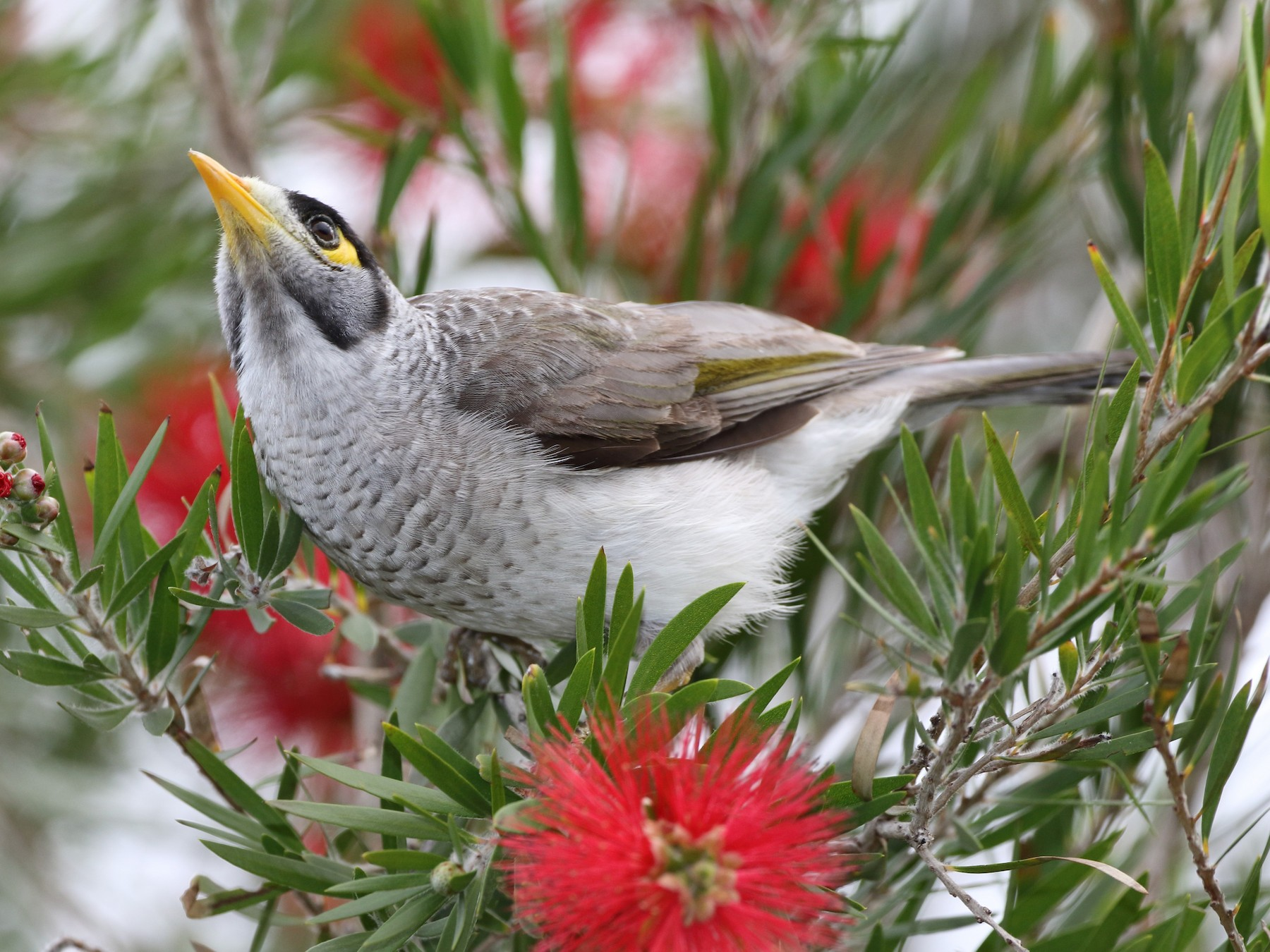 Noisy Miner - Mike