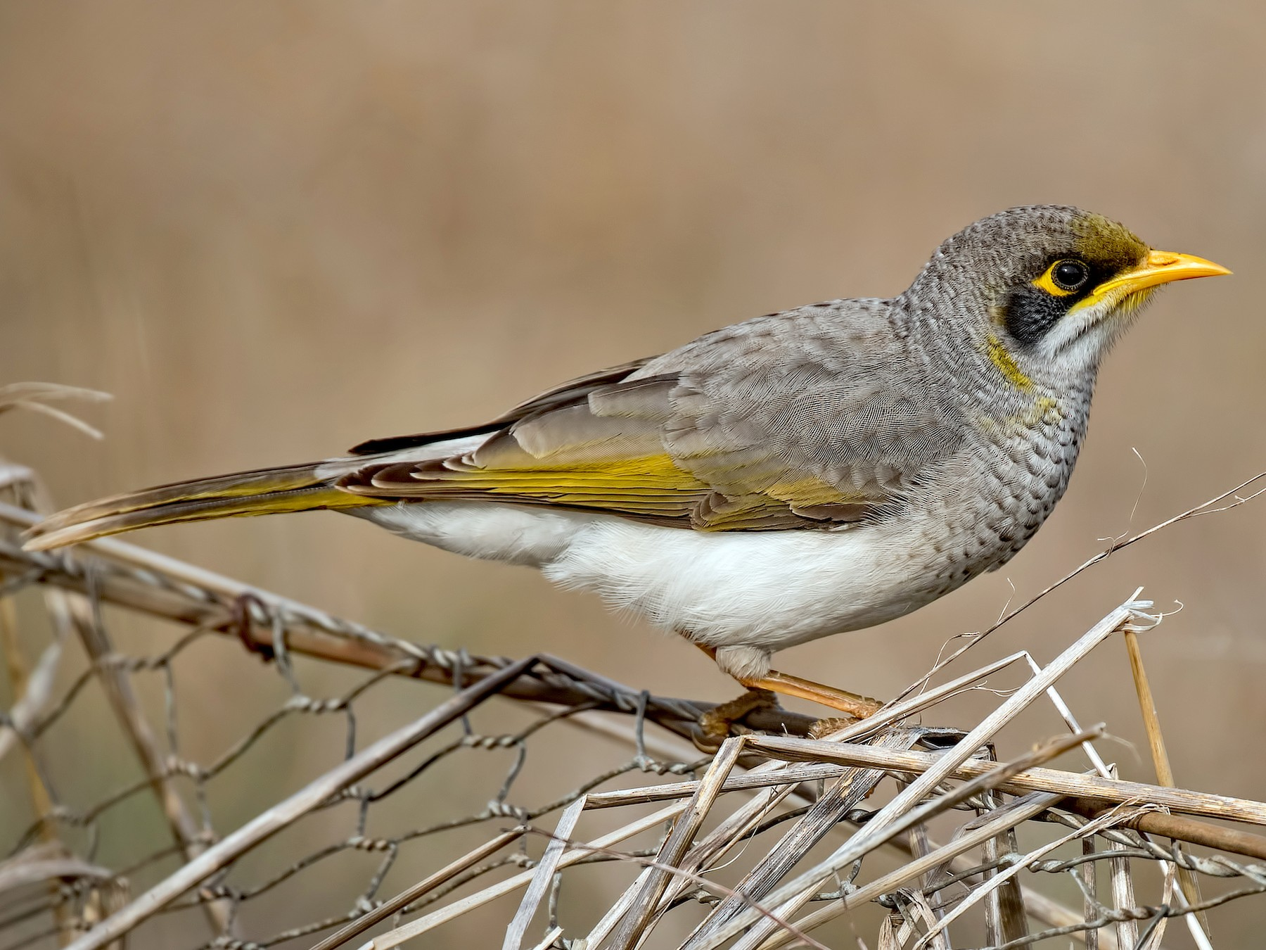 Yellow-throated Miner - Julie Clark