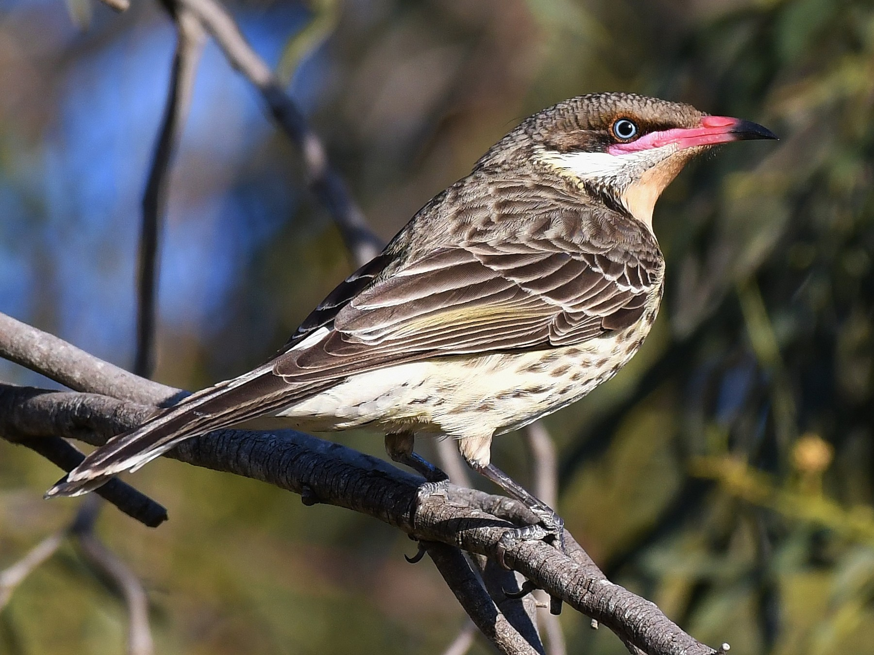 Spiny-cheeked Honeyeater - Terence Alexander