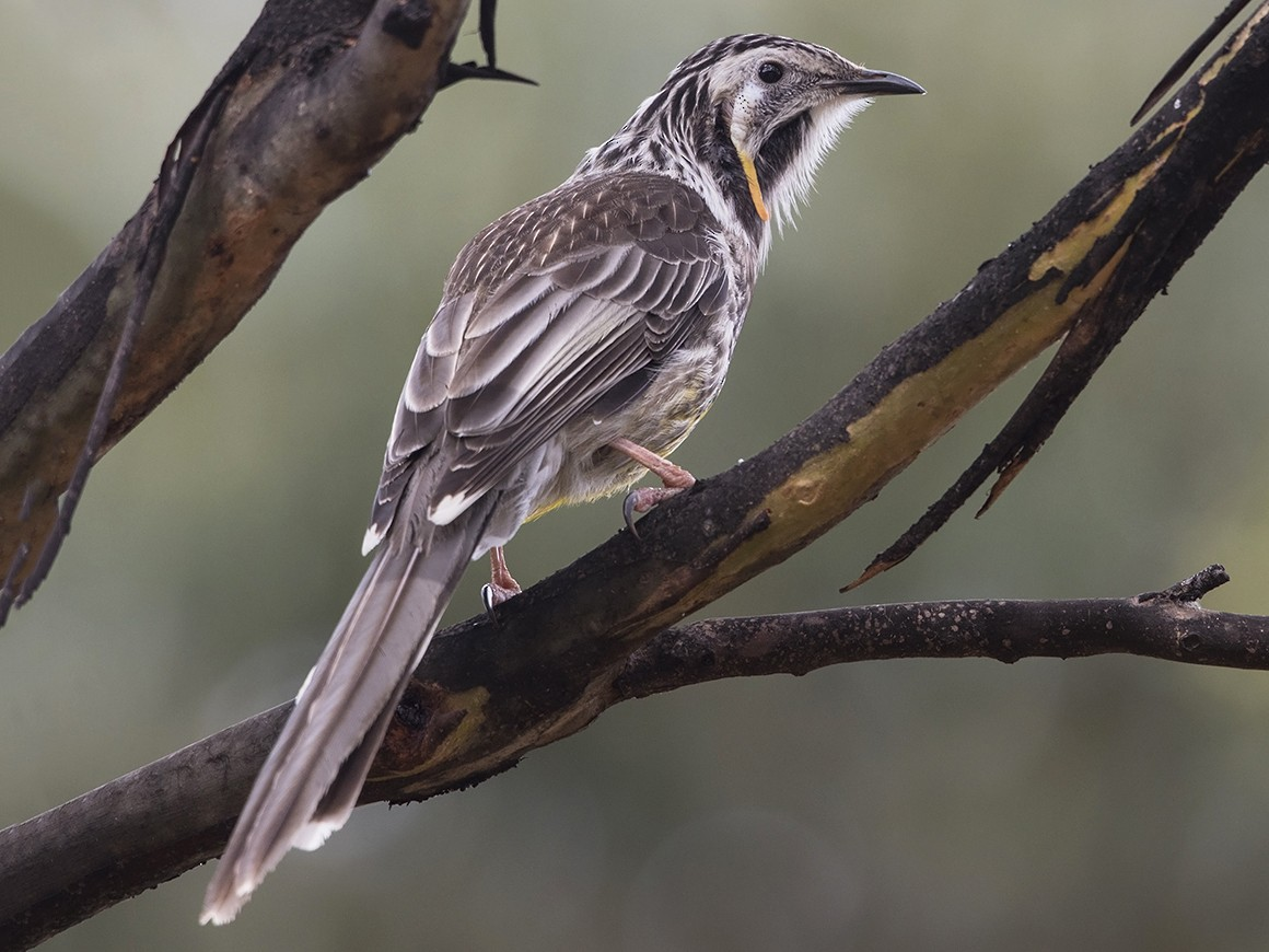 Yellow Wattlebird - Niall D Perrins