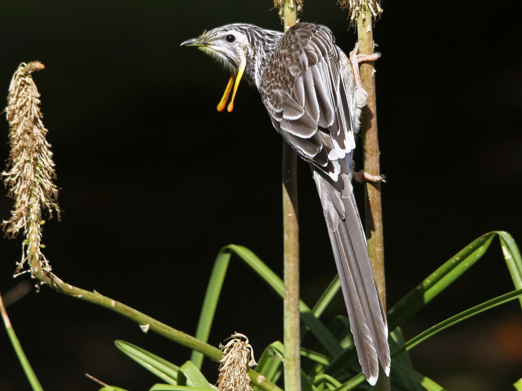 Yellow Wattlebird - Alan Atkinson