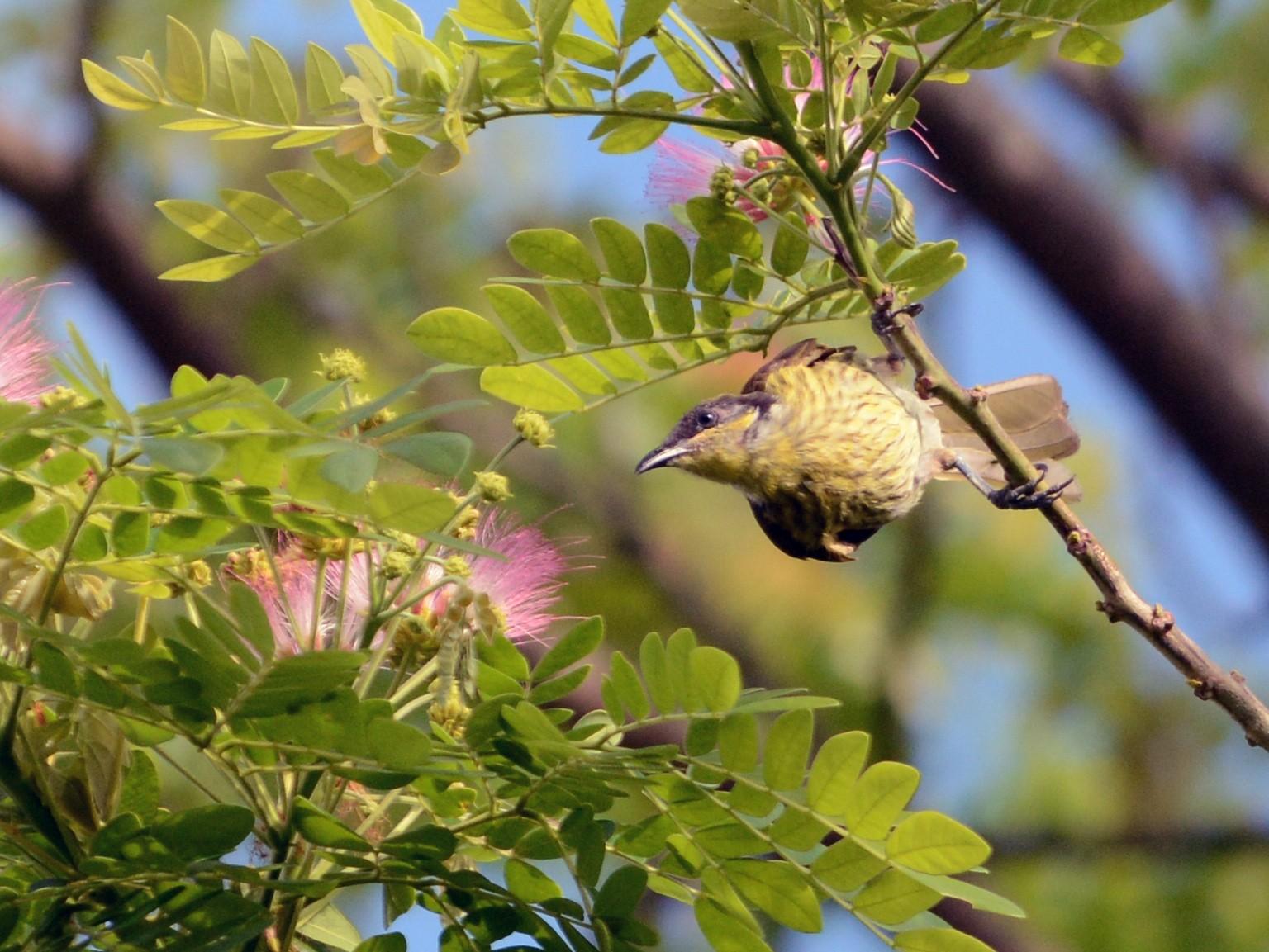 Varied Honeyeater - Cathy Pasterczyk
