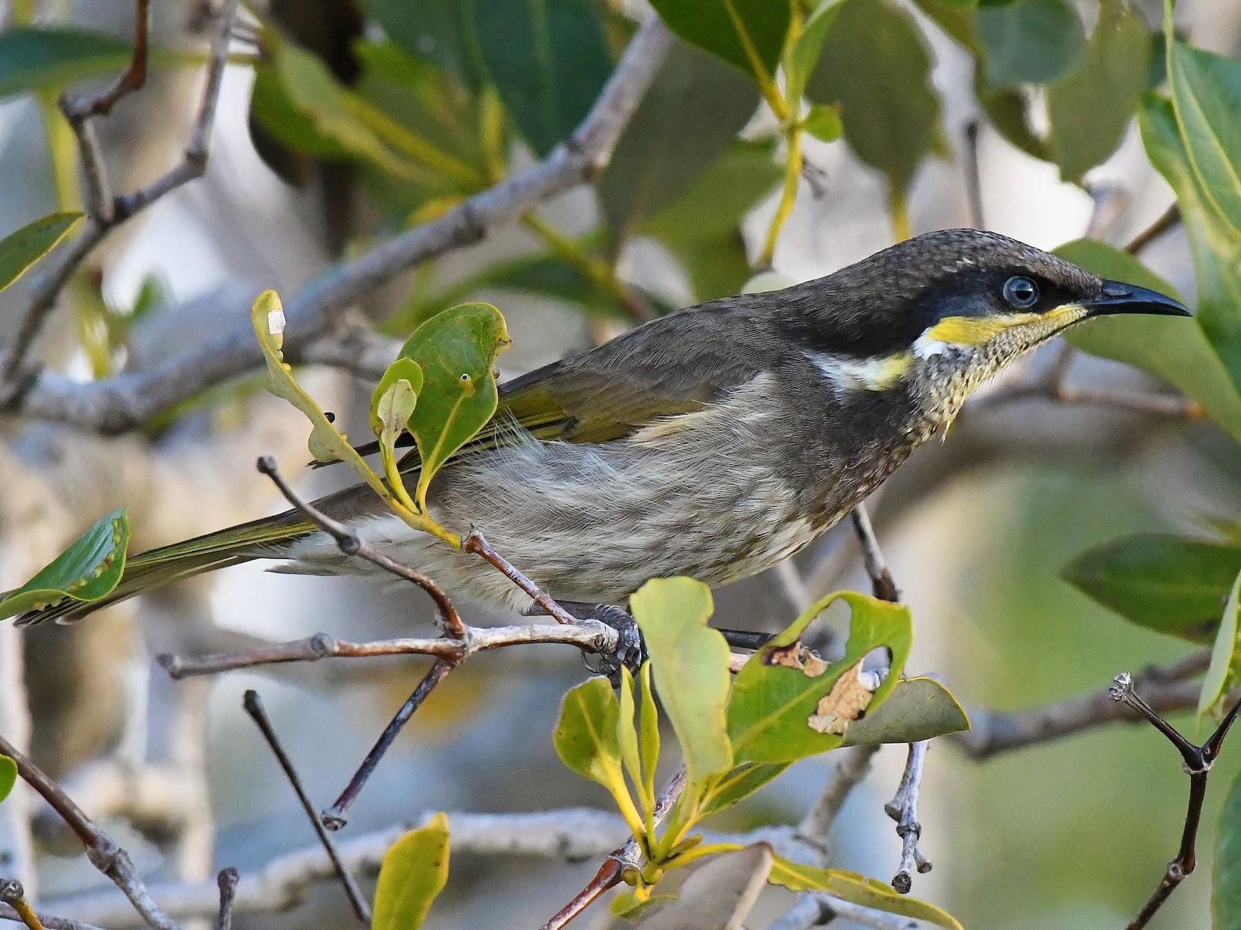 Mangrove Honeyeater - Terence Alexander