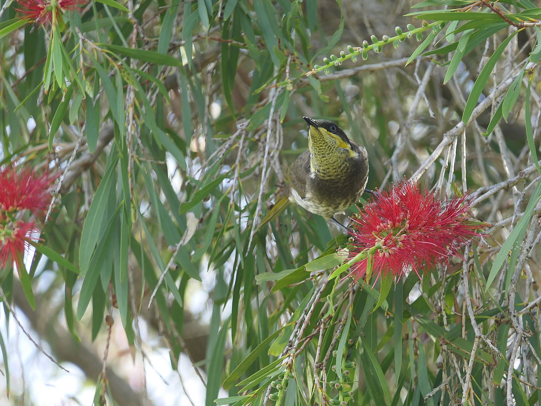 Mangrove Honeyeater - Don McIvor