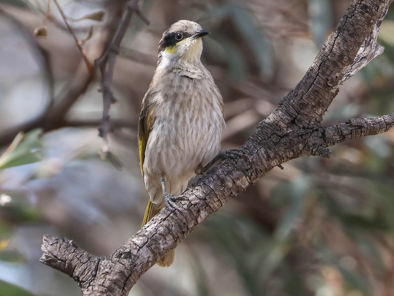 Singing Honeyeater - Ged Tranter