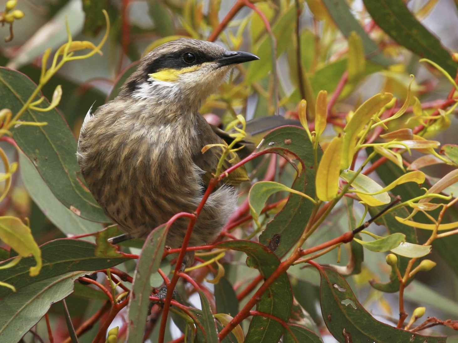 Singing Honeyeater - Anonymous eBirder
