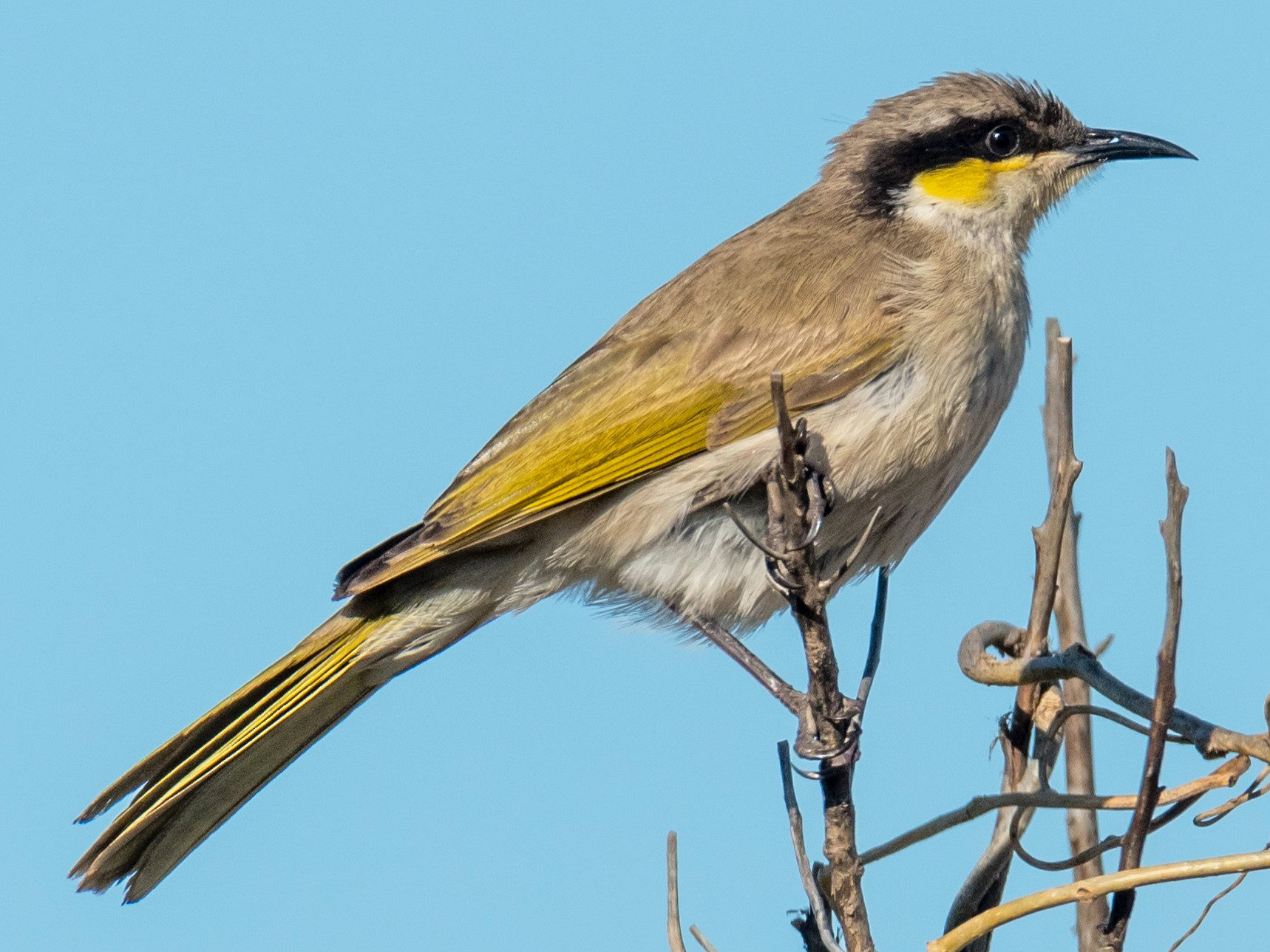 Singing Honeyeater - Raphaël Nussbaumer