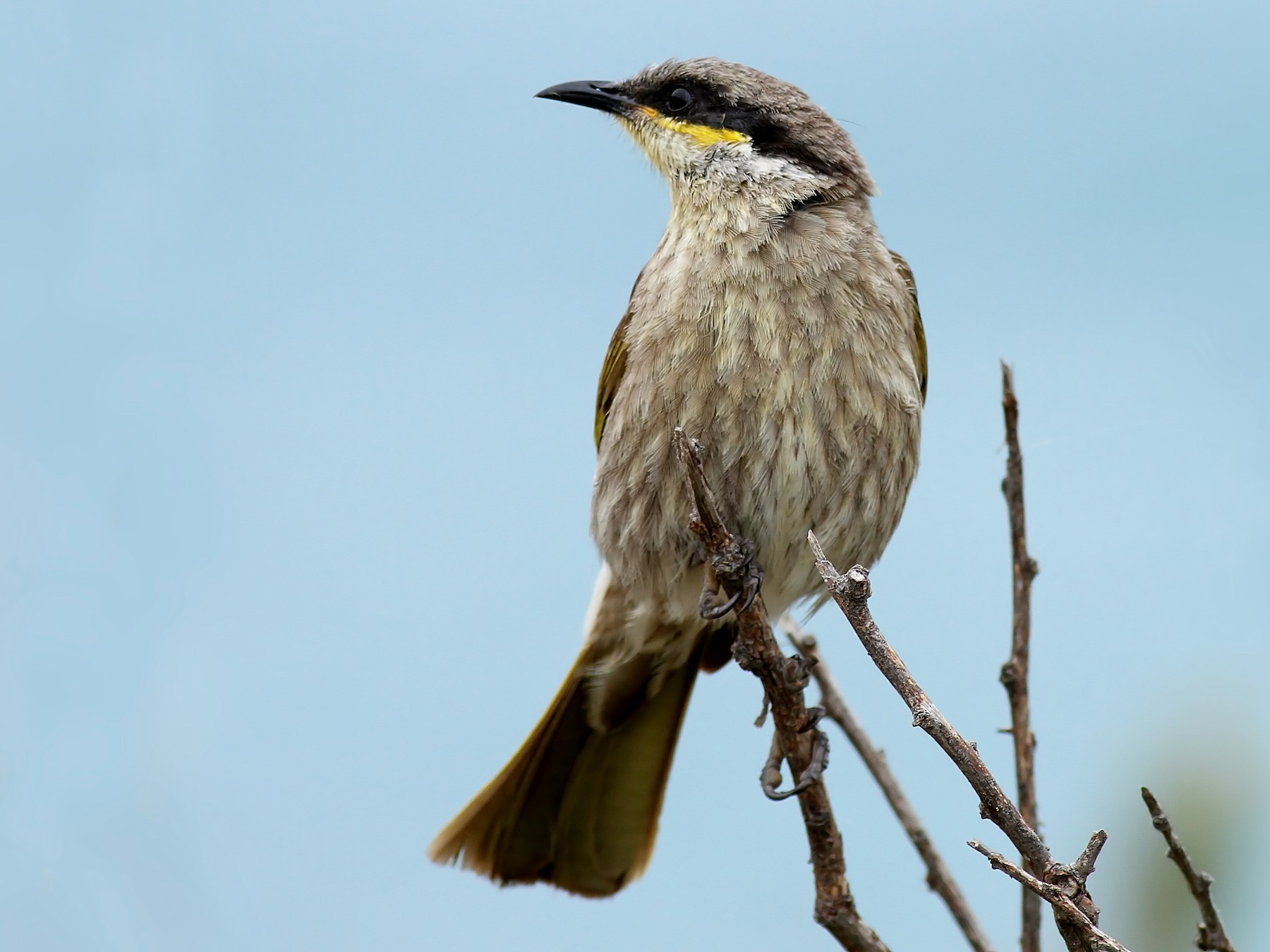 Singing Honeyeater - Alan Melville