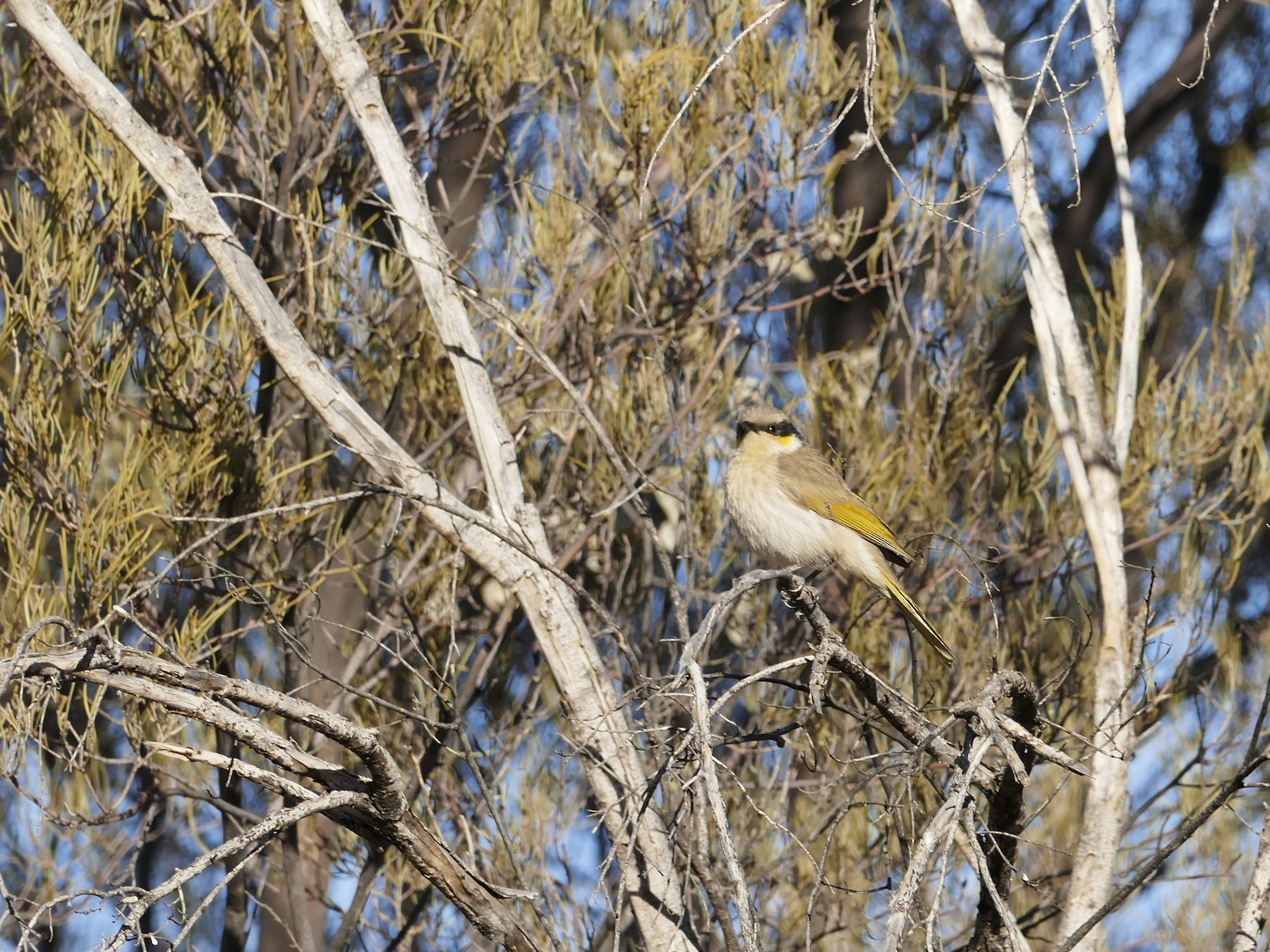 Singing Honeyeater - Andrew Hogg