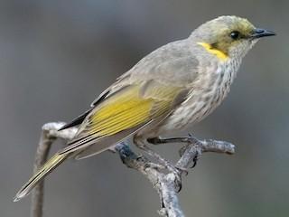 - Yellow-plumed Honeyeater