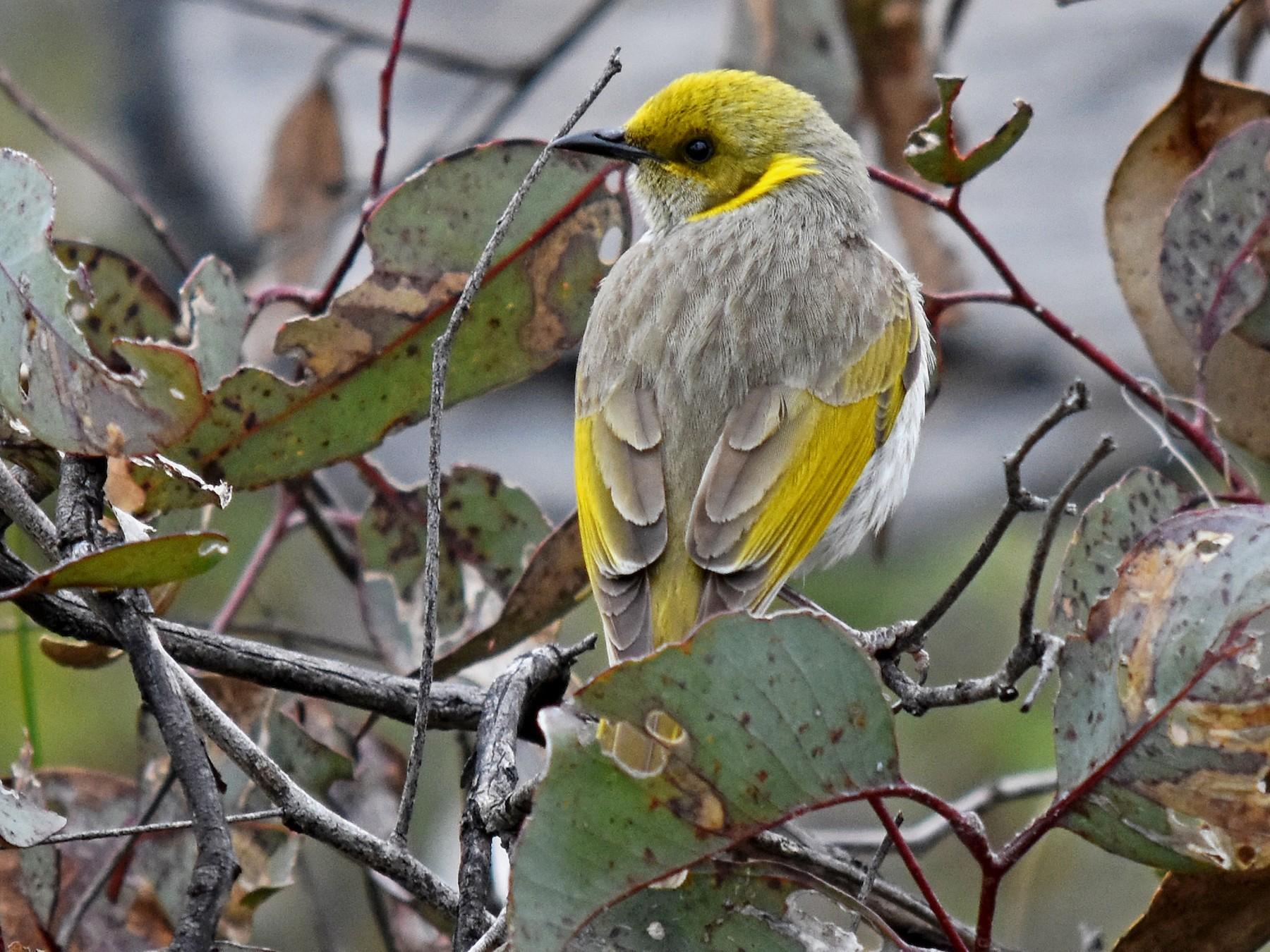 Yellow-plumed Honeyeater - Geoffrey Groom