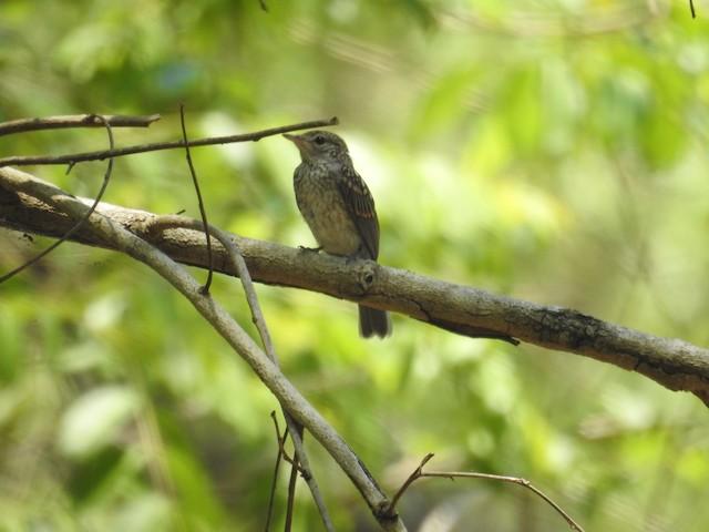Juvenile Ashy Flycatcher.