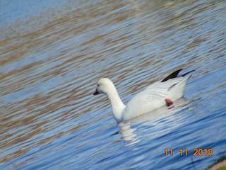 Snow Goose, ML124501101