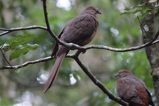 Brown Cuckoo-Dove, ML124544101