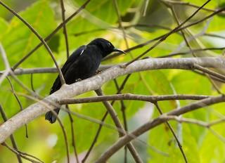 - Papuan Black Myzomela