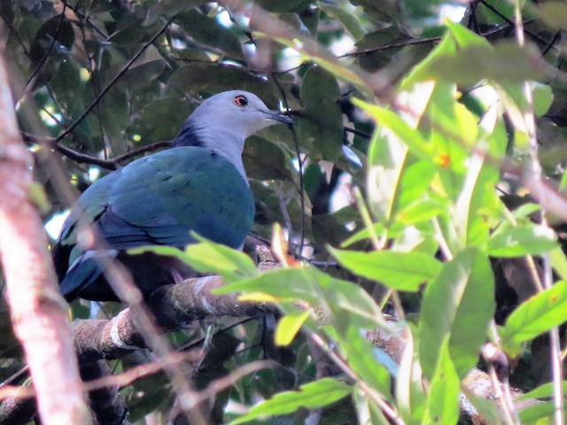 Gray-headed Imperial-Pigeon