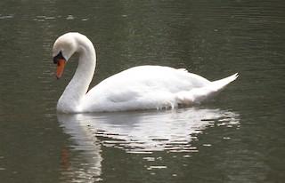 Mute Swan, ML124681041