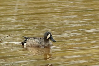 Blue-winged Teal, ML124697881