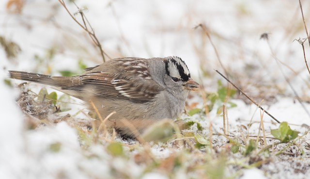 White-crowned Sparrow (leucophrys)