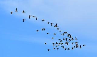 Cackling Goose, ML124756661