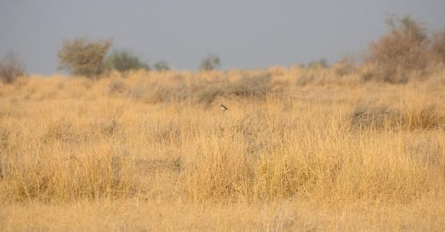 White-browed Bushchat