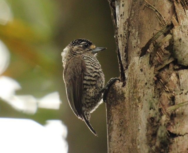White-barred Piculet
