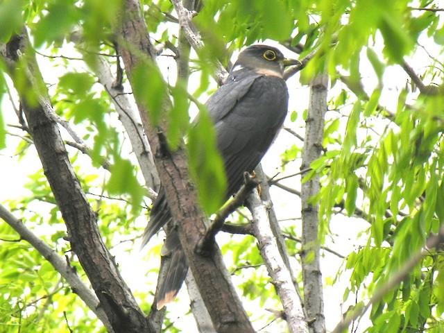 Northern Hawk-Cuckoo
