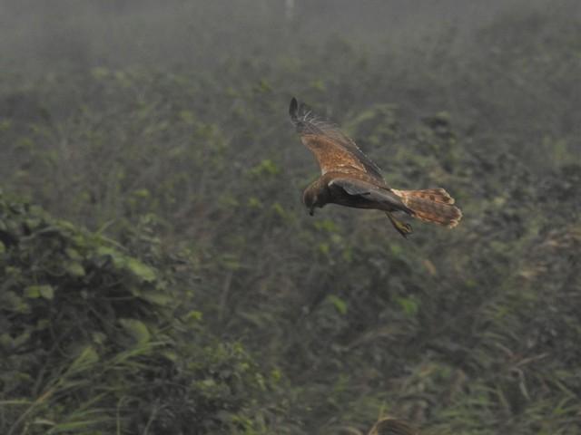 Eastern Marsh-Harrier