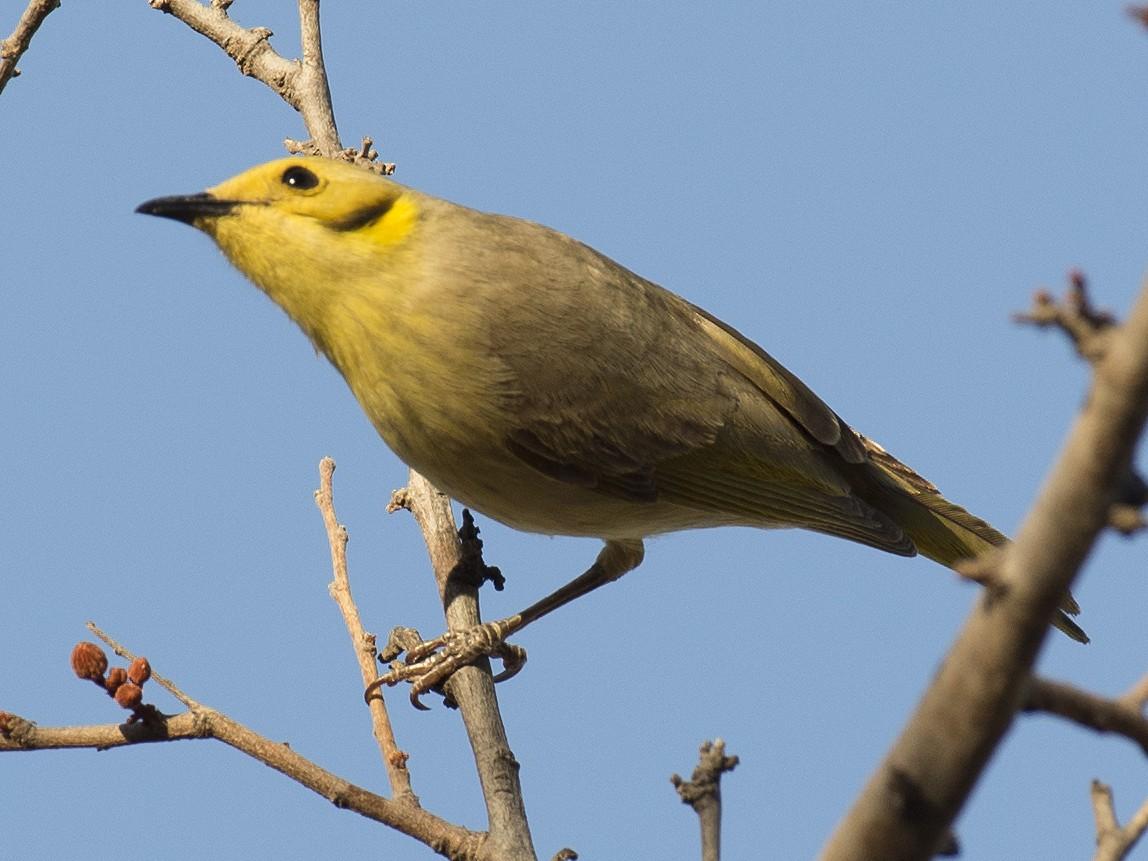 Yellow-tinted Honeyeater - David King