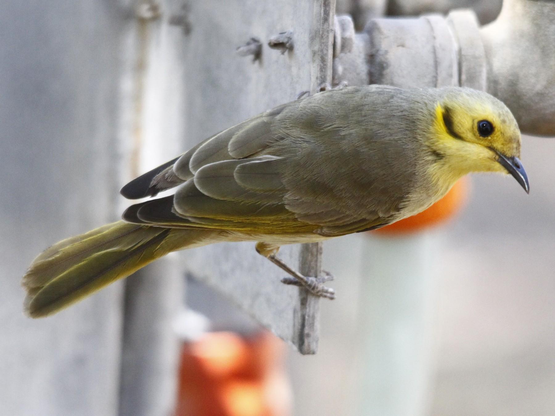 Yellow-tinted Honeyeater - Alan Atkinson