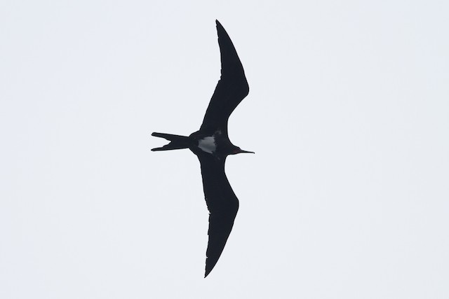 Christmas Island Frigatebird