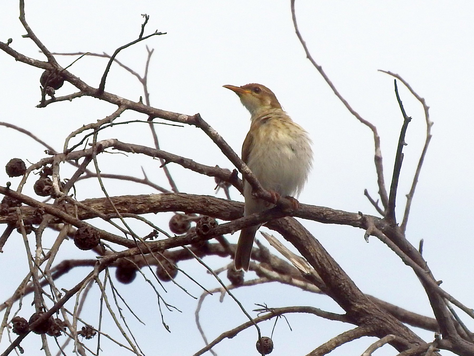 Brown-backed Honeyeater - Chris Burwell