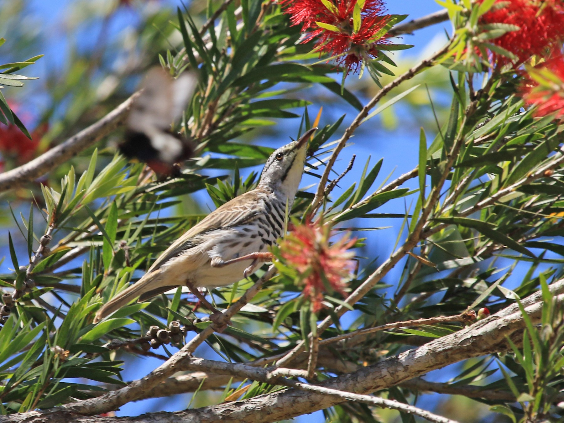 Bar-breasted Honeyeater - Julie Ward