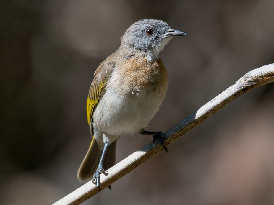 Rufous-banded Honeyeater - Barry Deacon