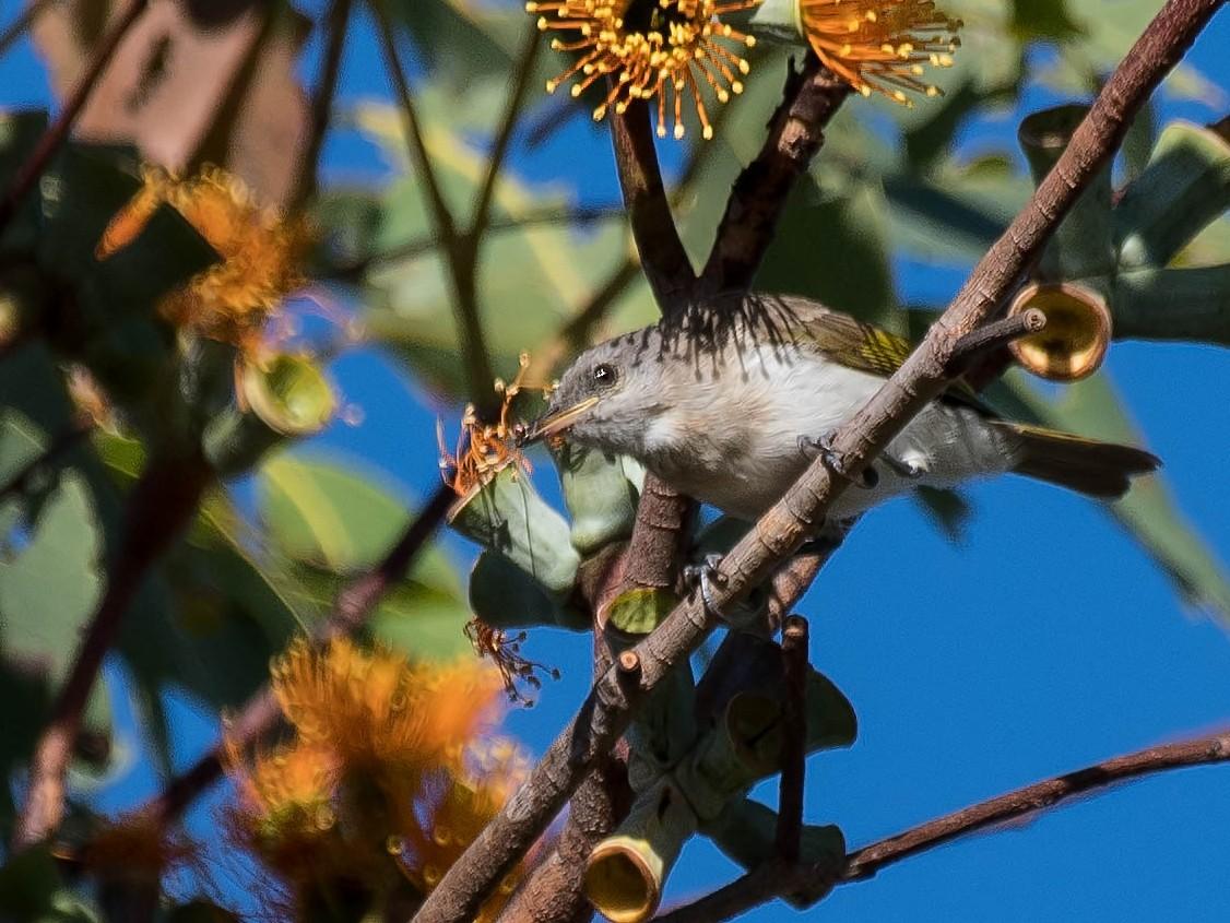 Rufous-banded Honeyeater - Terence Alexander