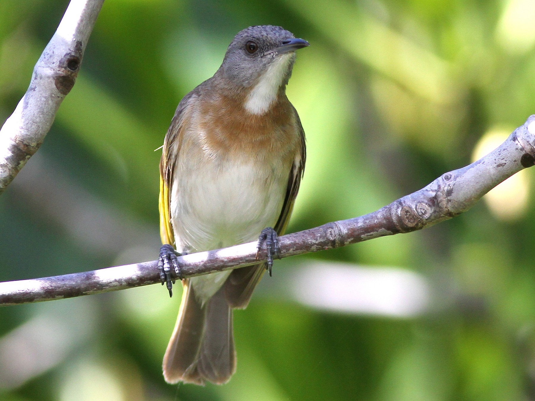 Rufous-banded Honeyeater - Chris Wiley