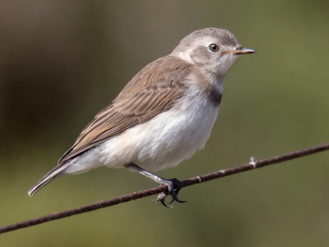 White-fronted Chat - Andrew Allen