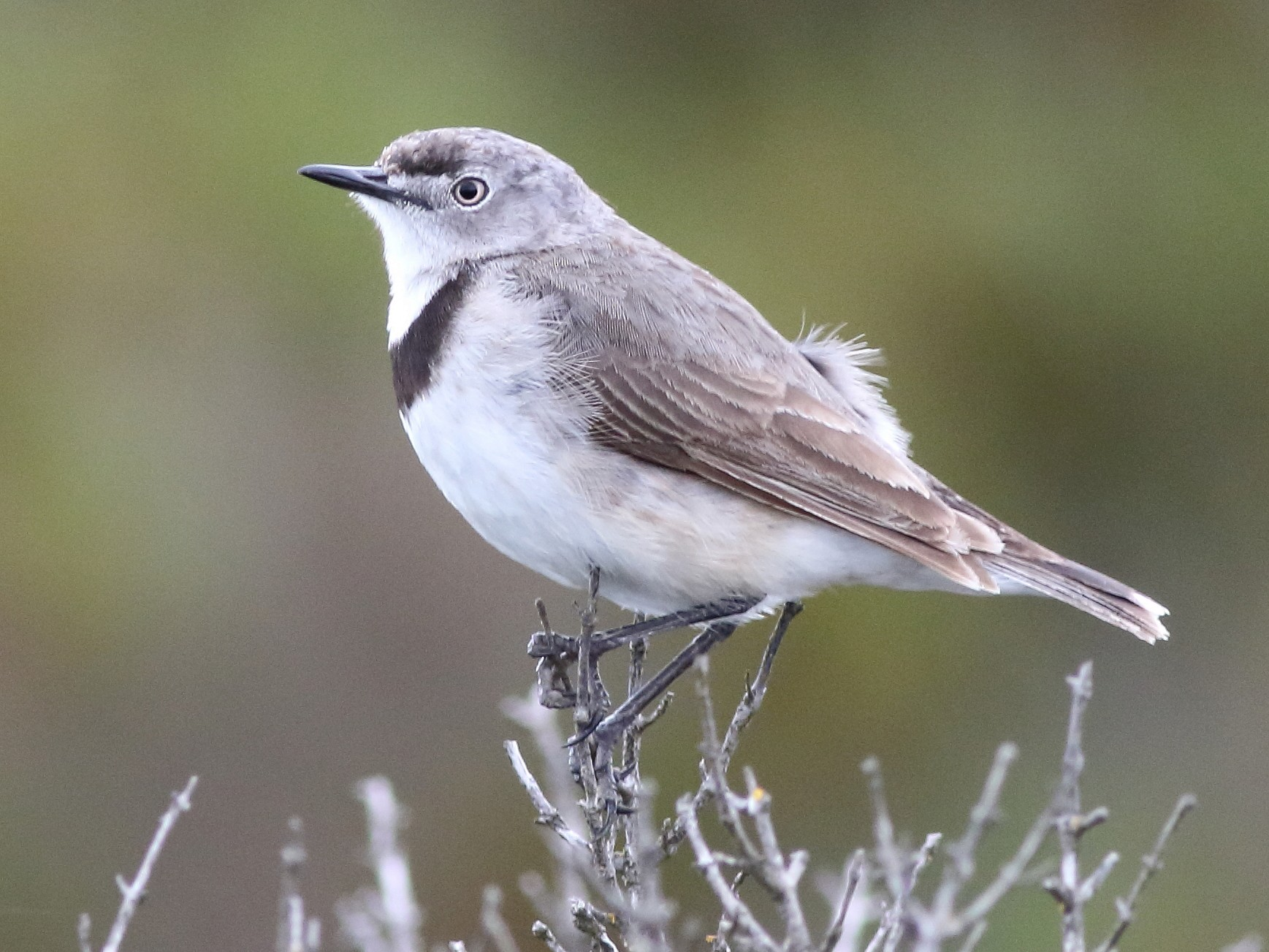 White-fronted Chat - Leigh Pieterse