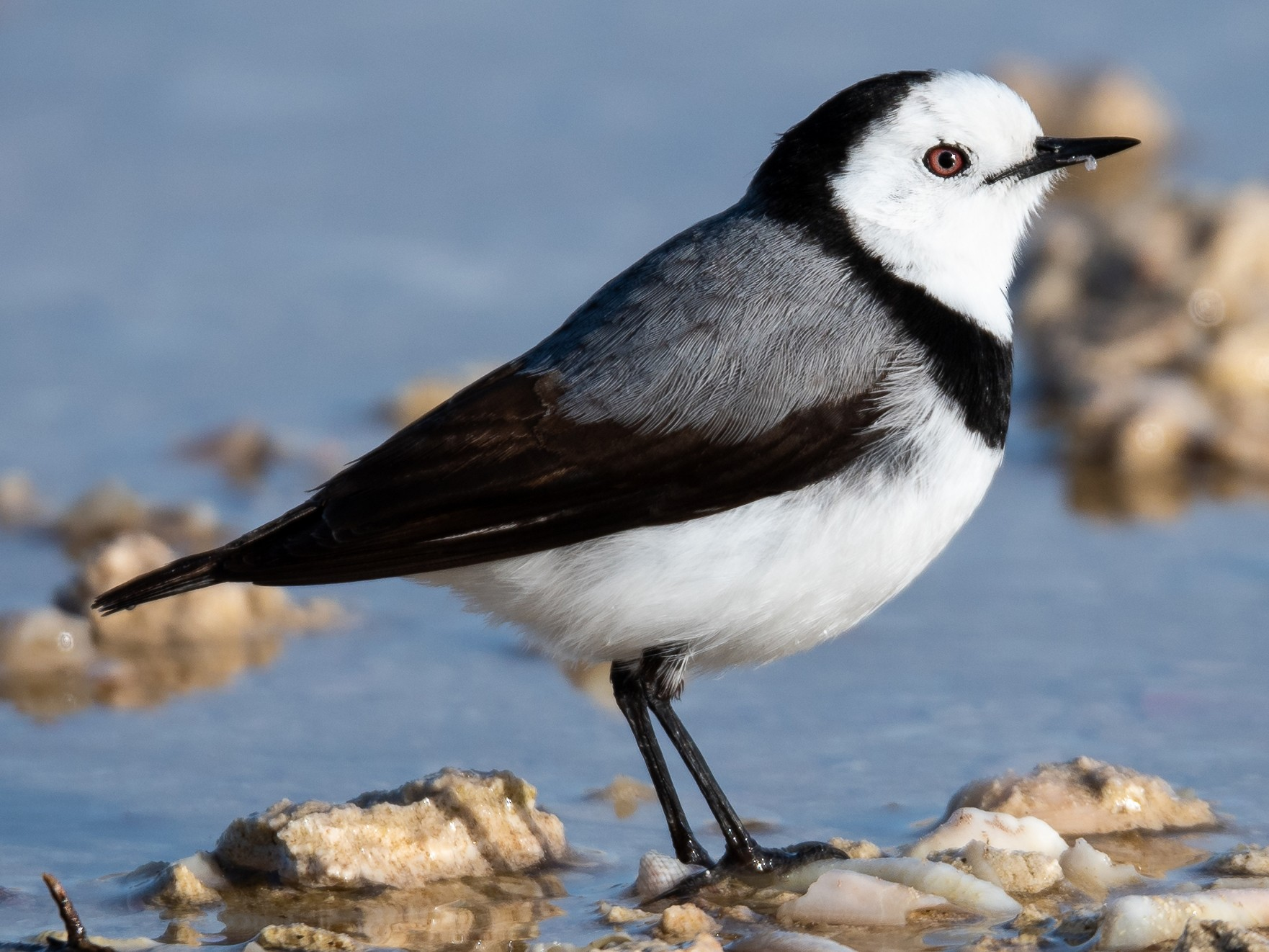 White-fronted Chat - Jamie Dolphin