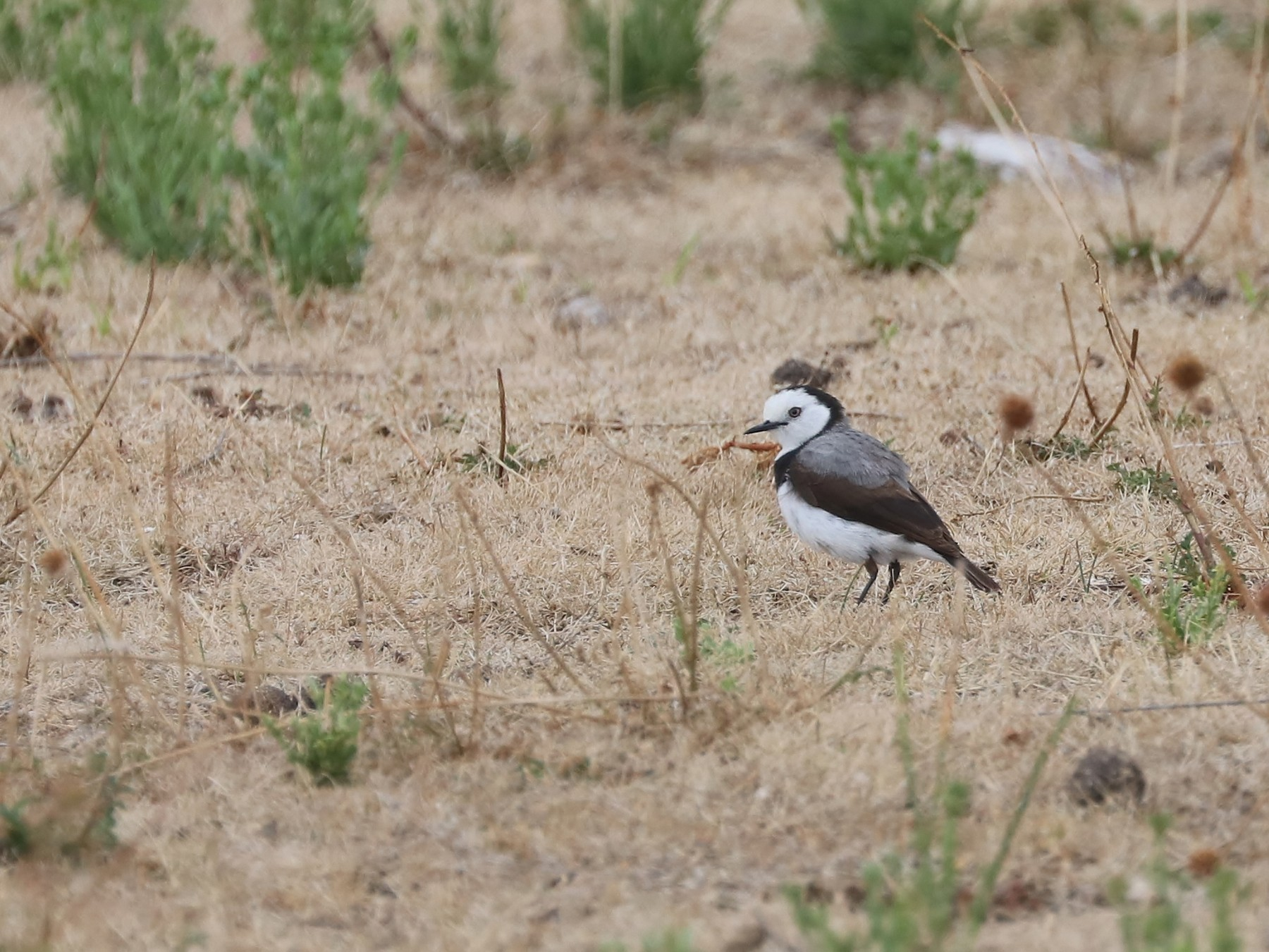 White-fronted Chat - Rick Franks