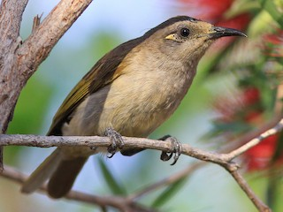 - Brown Honeyeater