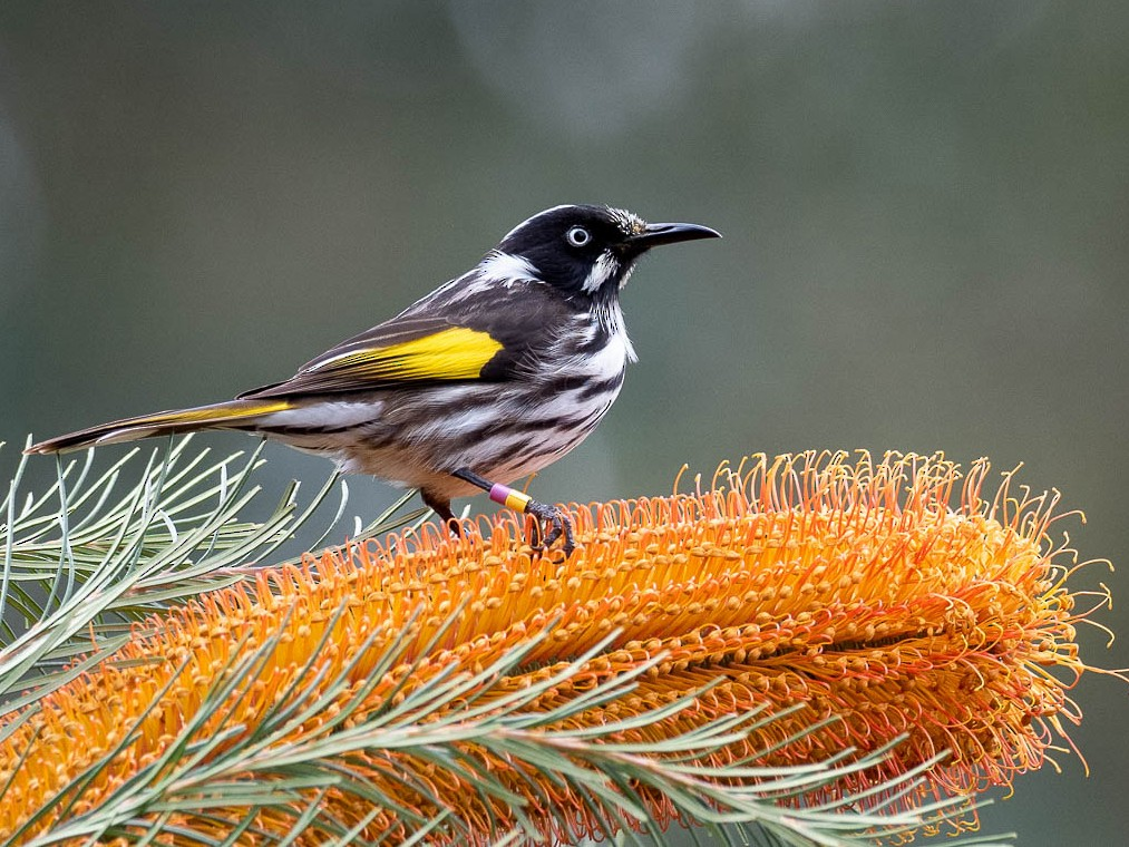 New Holland Honeyeater - Forest Jarvis