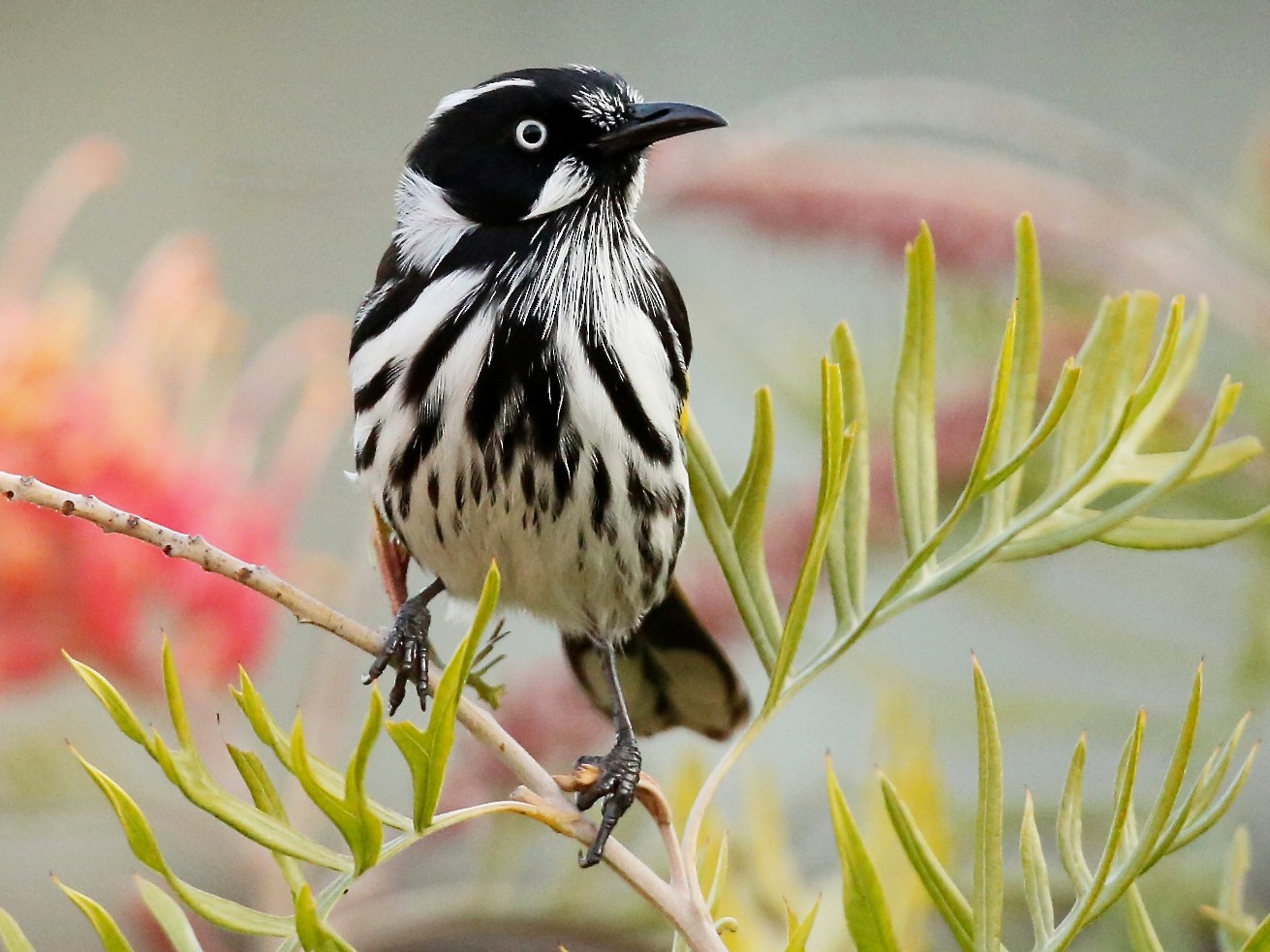 New Holland Honeyeater - David  Tytherleigh