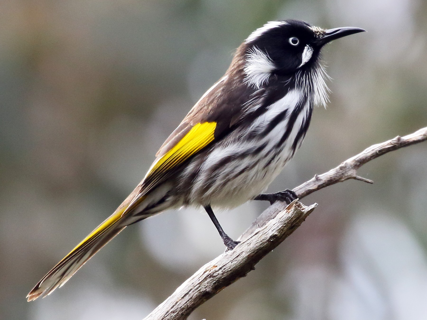 New Holland Honeyeater - Michael Rutkowski